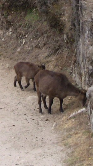 More mountain goats on the path