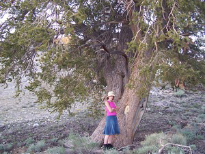 Alice next to a Bristlecone Pine